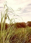 Spartina pectinata - Cord Grass